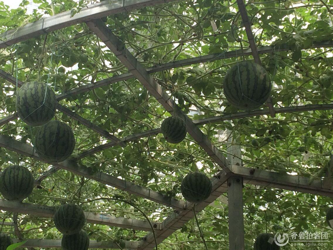 西瓜树 - 菏泽拍客 - 齐鲁社区