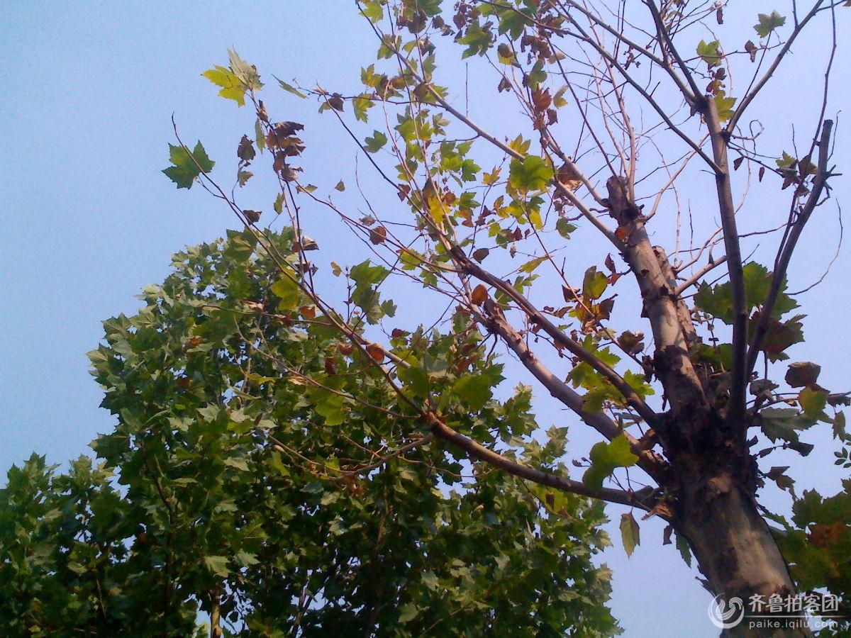 骄阳似火天,考的树叶满地!