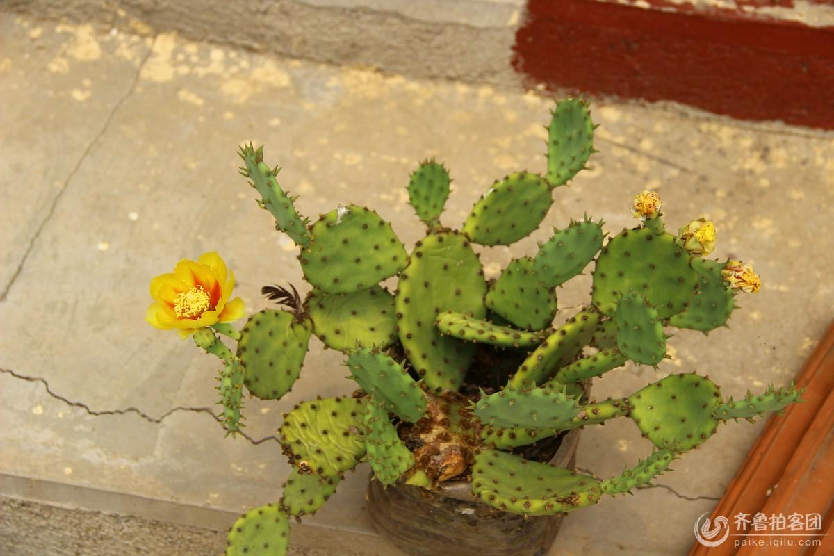 仙人掌开花