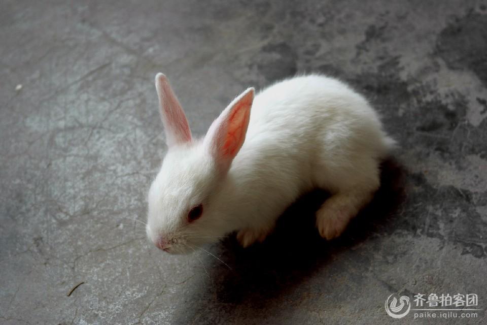 可爱的小白兔 - 济宁拍客