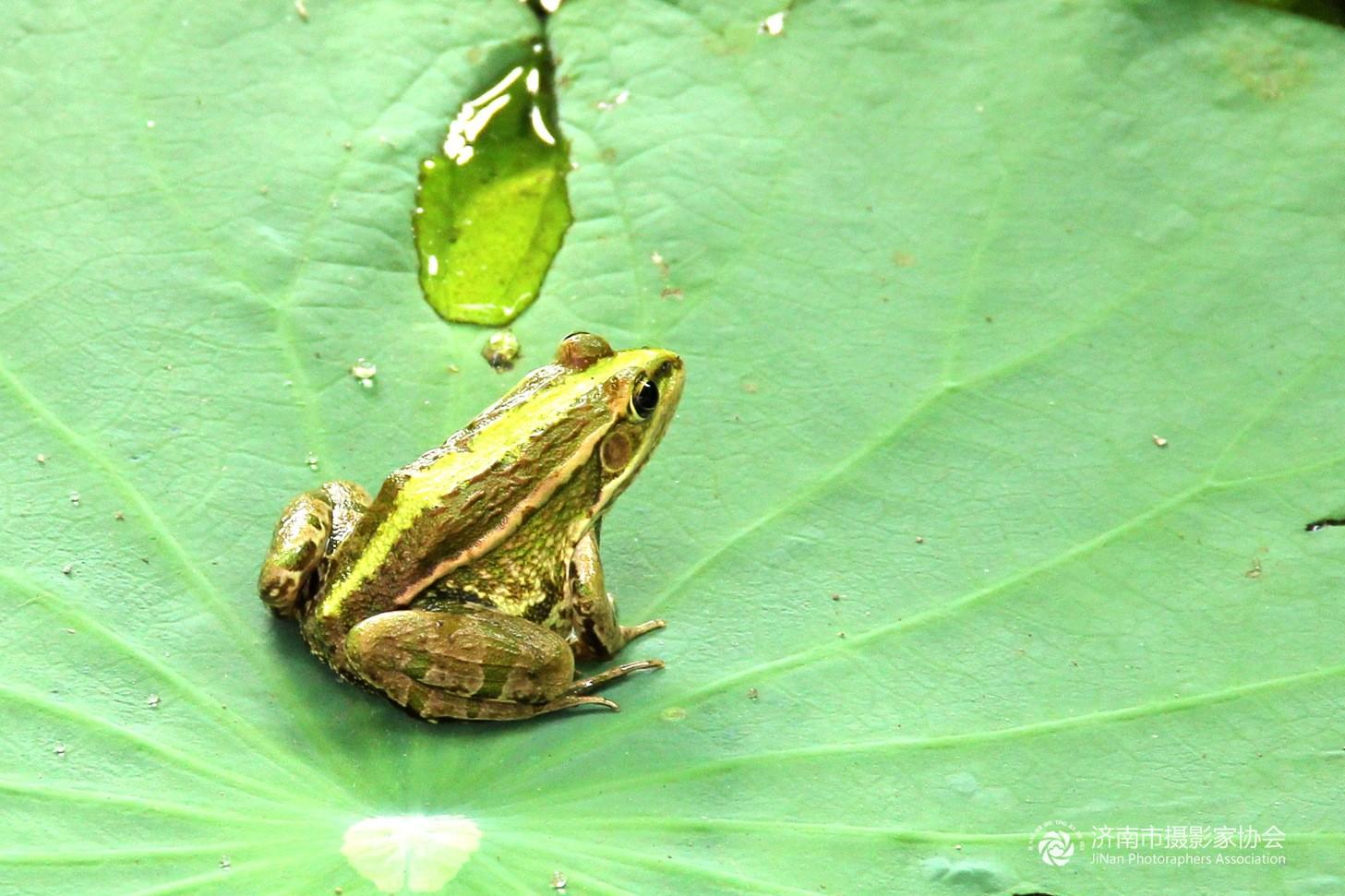 荷叶上的青蛙