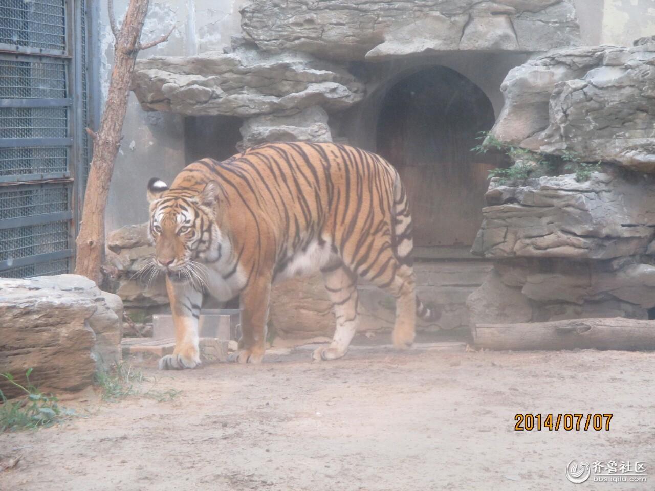 北京动物园里的大老虎