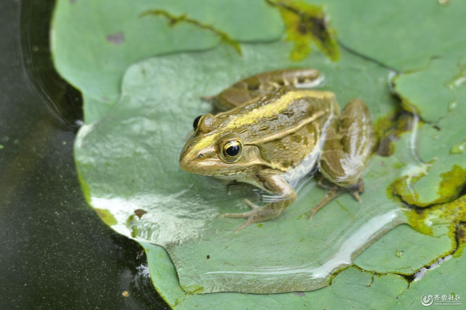 泉城公园——荷叶上的青蛙