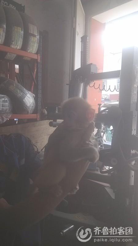第一次看到这么可爱的猴子,家养小宠物
