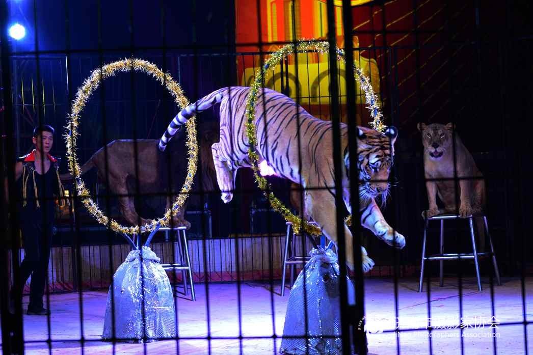 皇家马戏团表演老虎钻圈