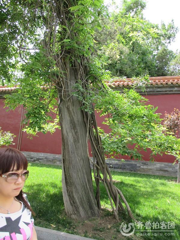 中山公园里的参天大树