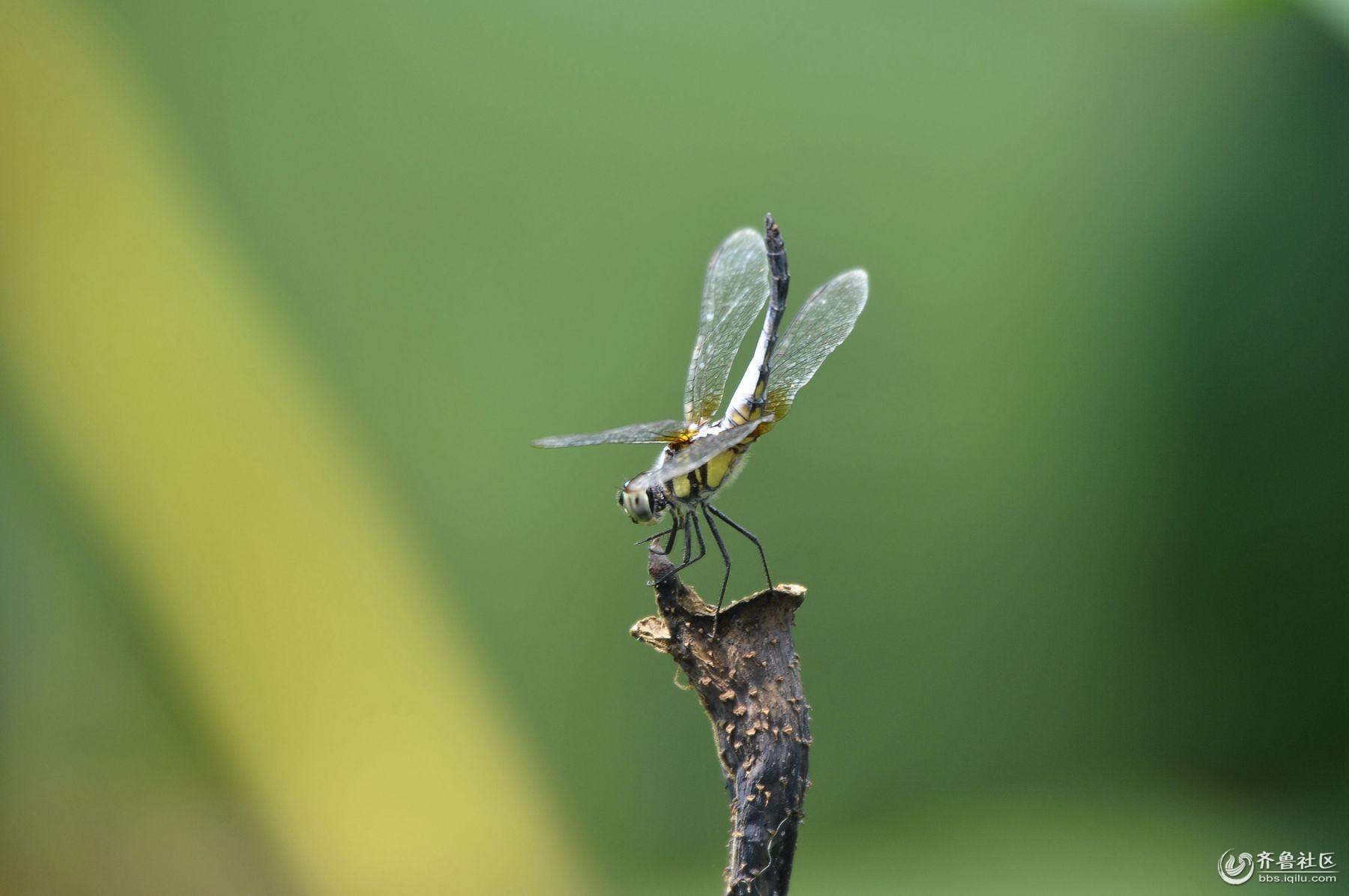 荷塘蜻蜓 - 泉影俱乐部