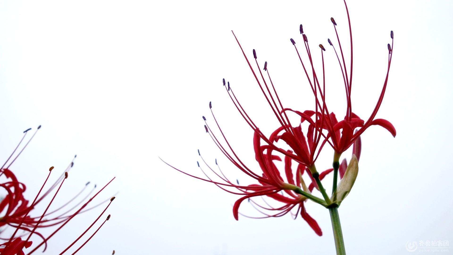 曼珠沙华——红色彼岸花