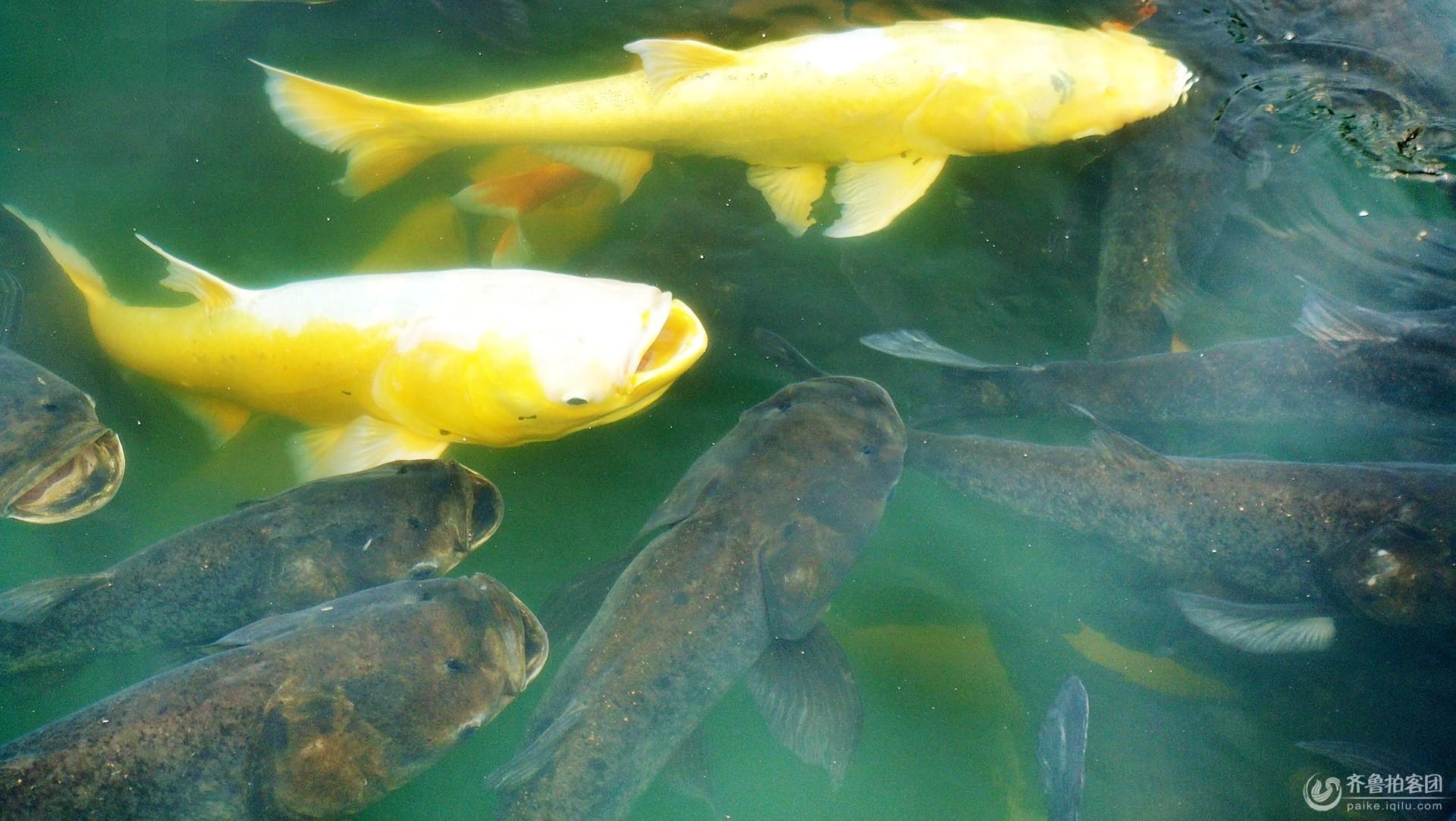 千岛湖的鱼