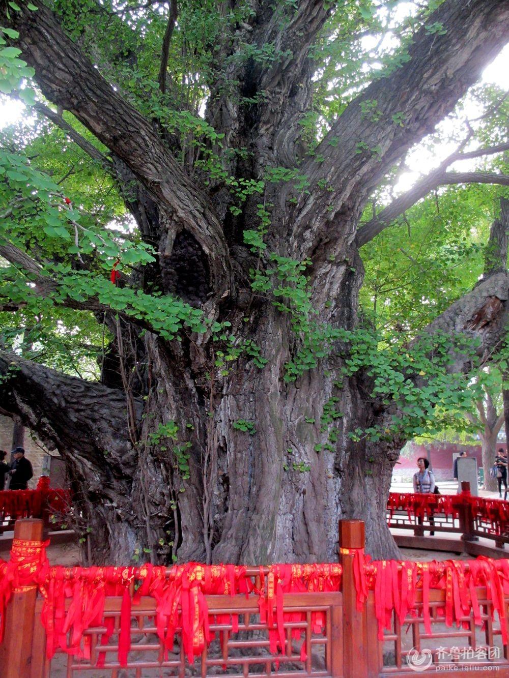 天下第一银杏树 - 日照拍客