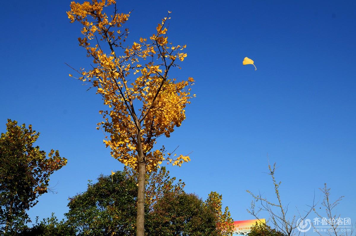 银杏树叶子黄了