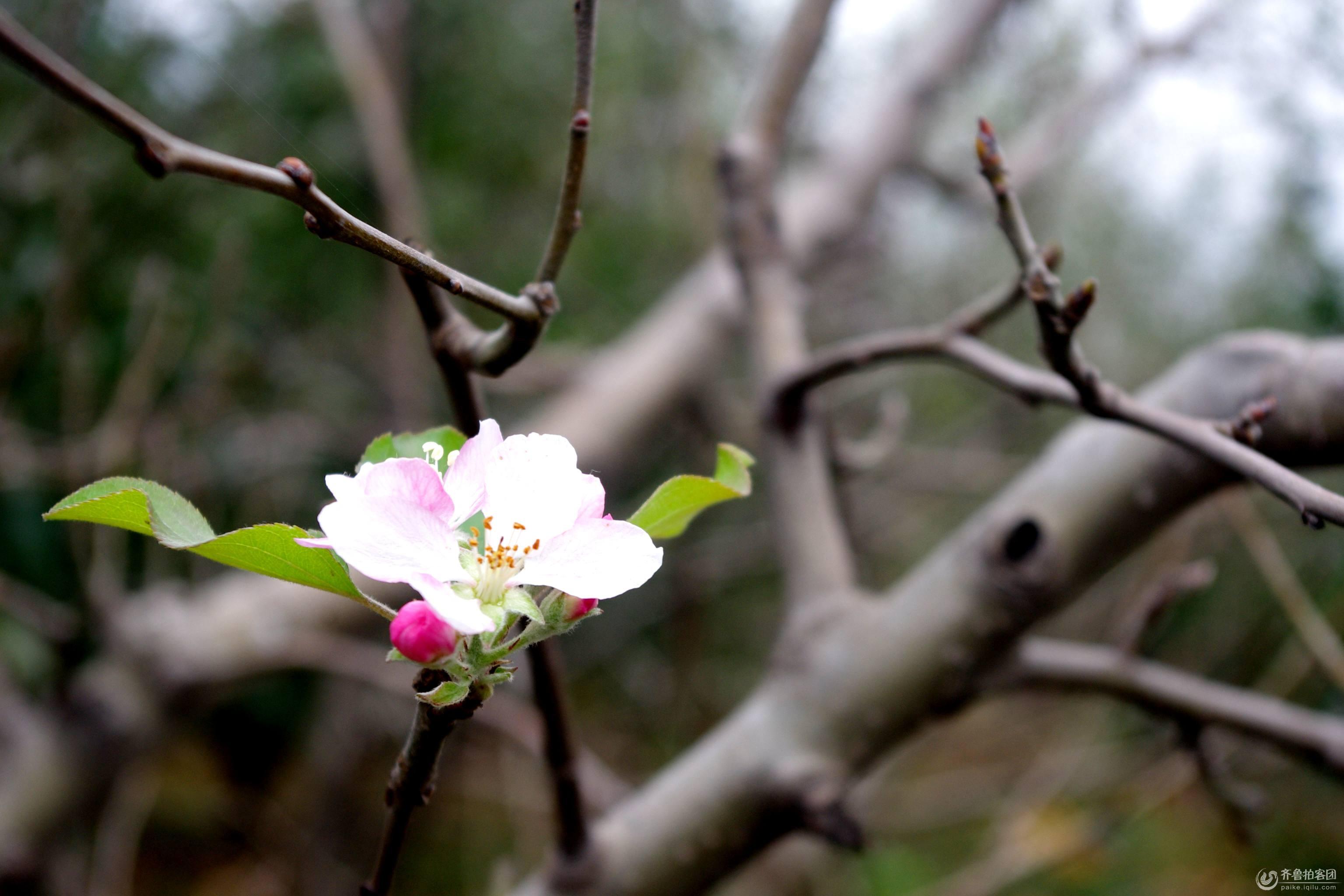 苹果树秋天开花