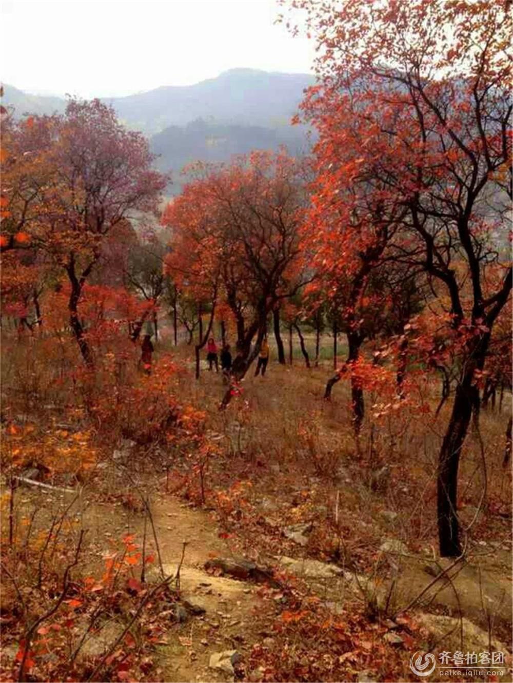 枫叶 红枫 树 1000图片