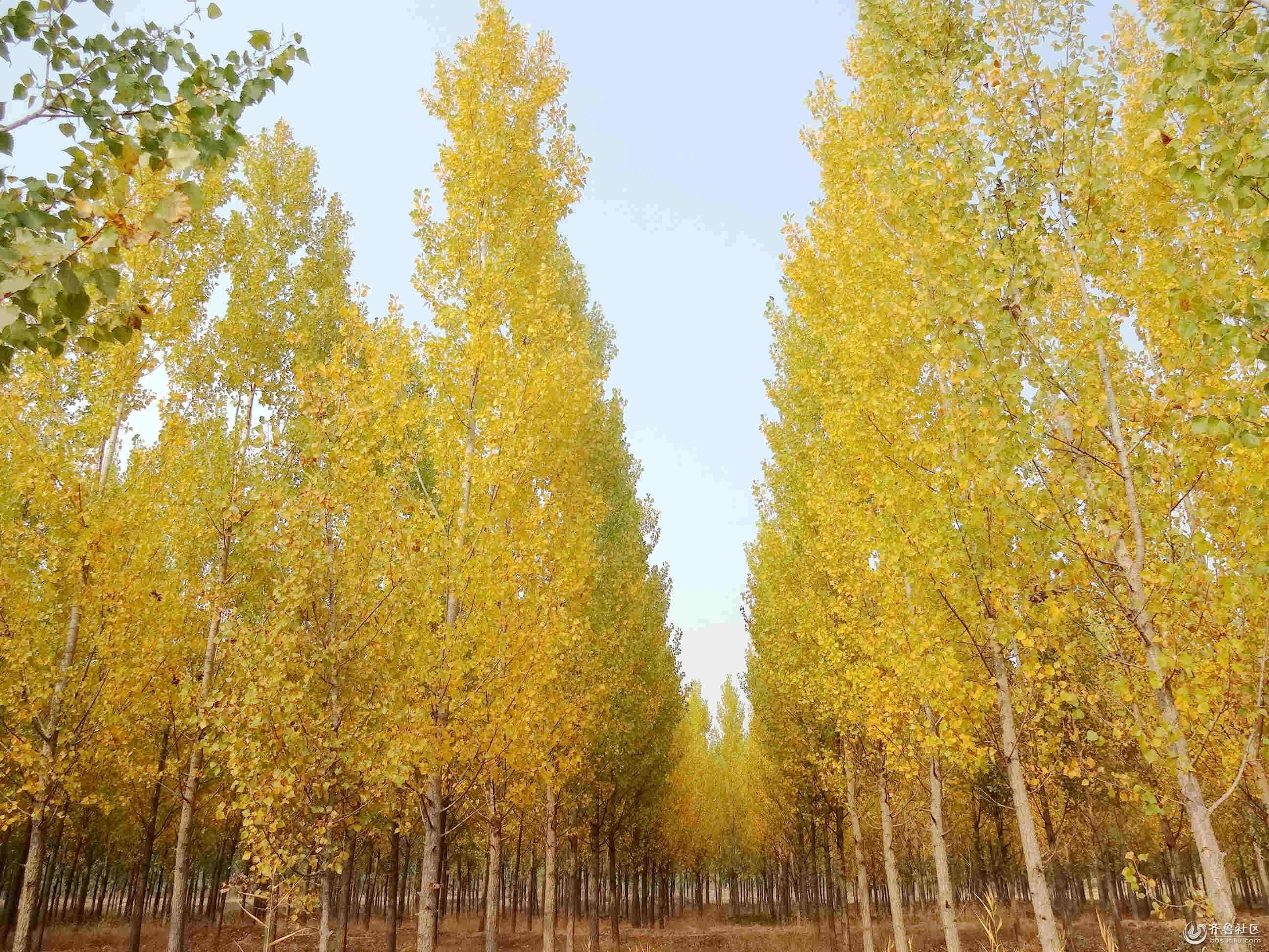 远远望去,那银杏树叶像穿上秋姑娘给他们量身定做的衣裳,一阵秋风吹