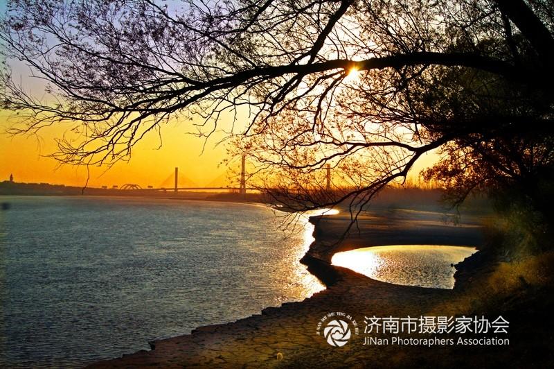 黄河岸边杨柳树