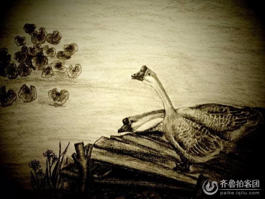 夏淑云的铅笔画----鹅