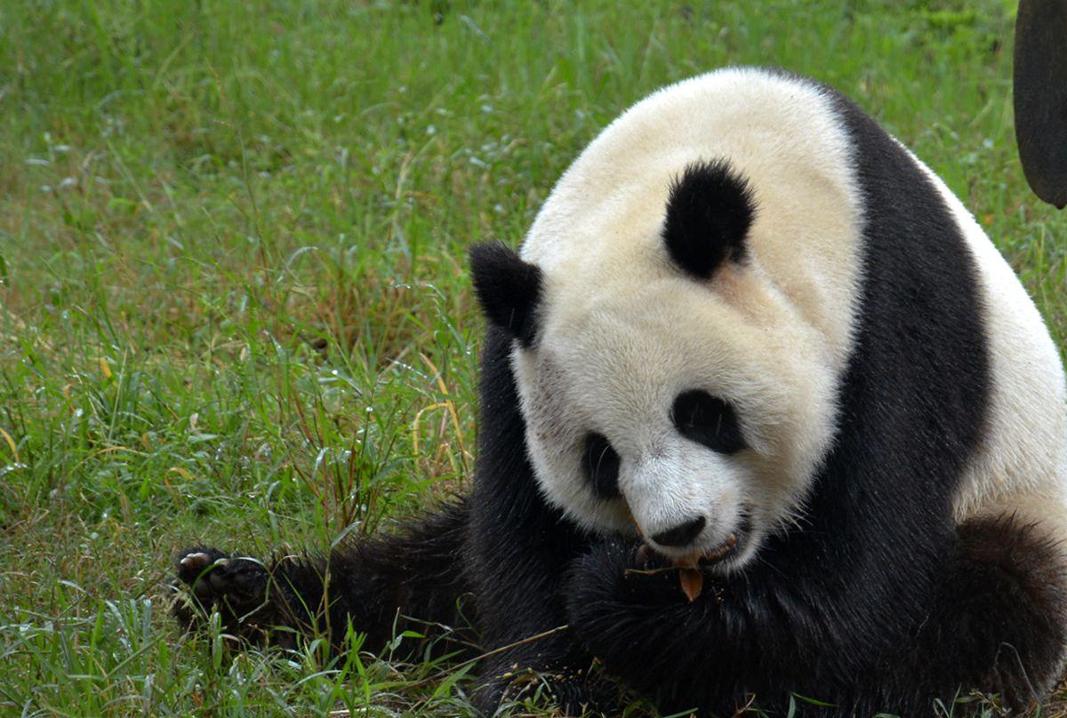 """雨中顽皮可爱的""""大熊猫"""" - 鸟类动物 - 齐鲁社区 齐鲁"""