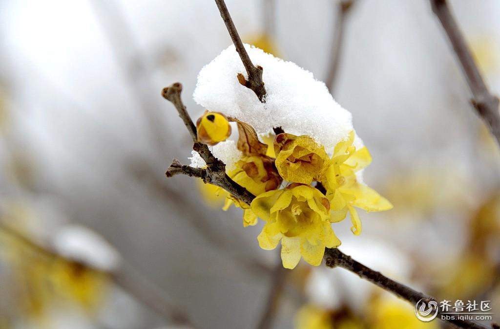 微信头像雪中蜡梅图片