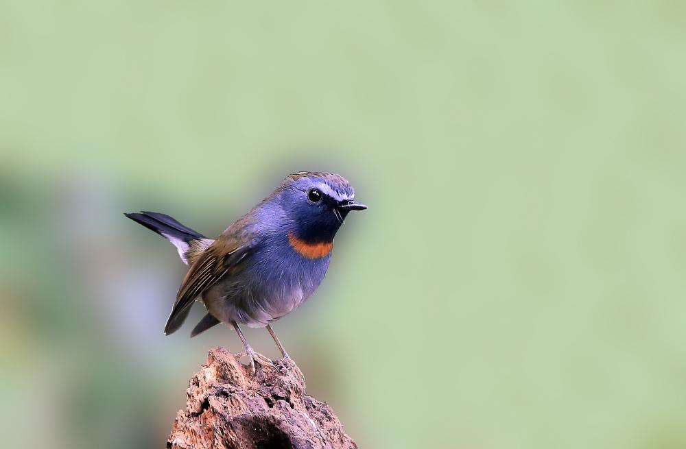 橙胸姬鹟 - 鸟类动物