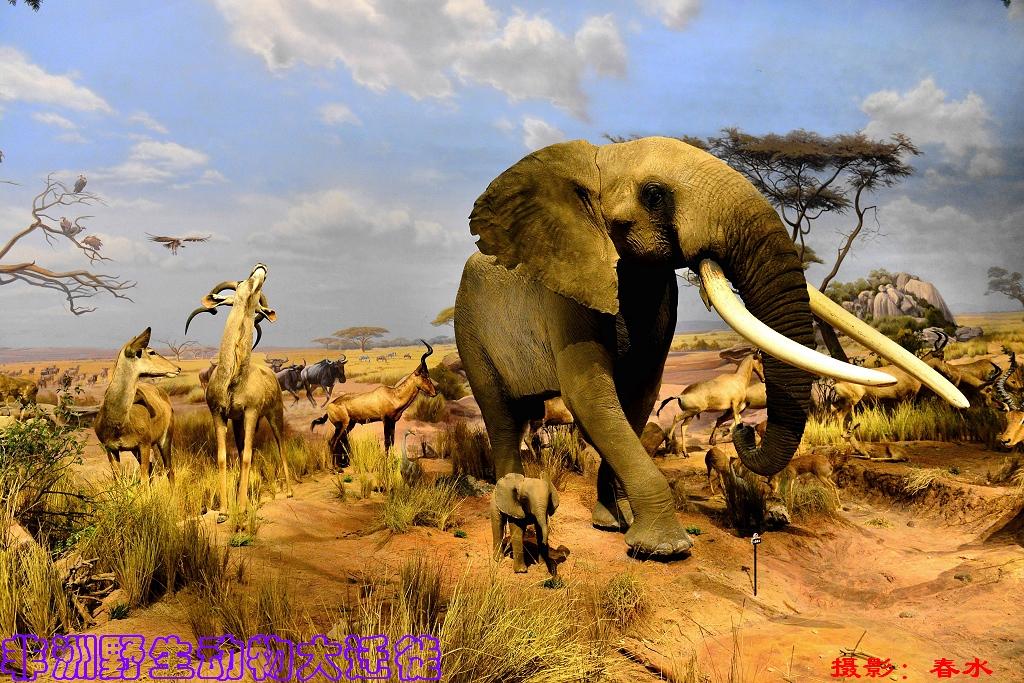 非洲野生动物大迁徙(一)
