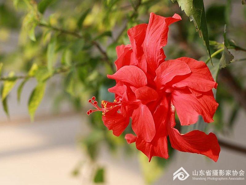 花卉___扶桑花