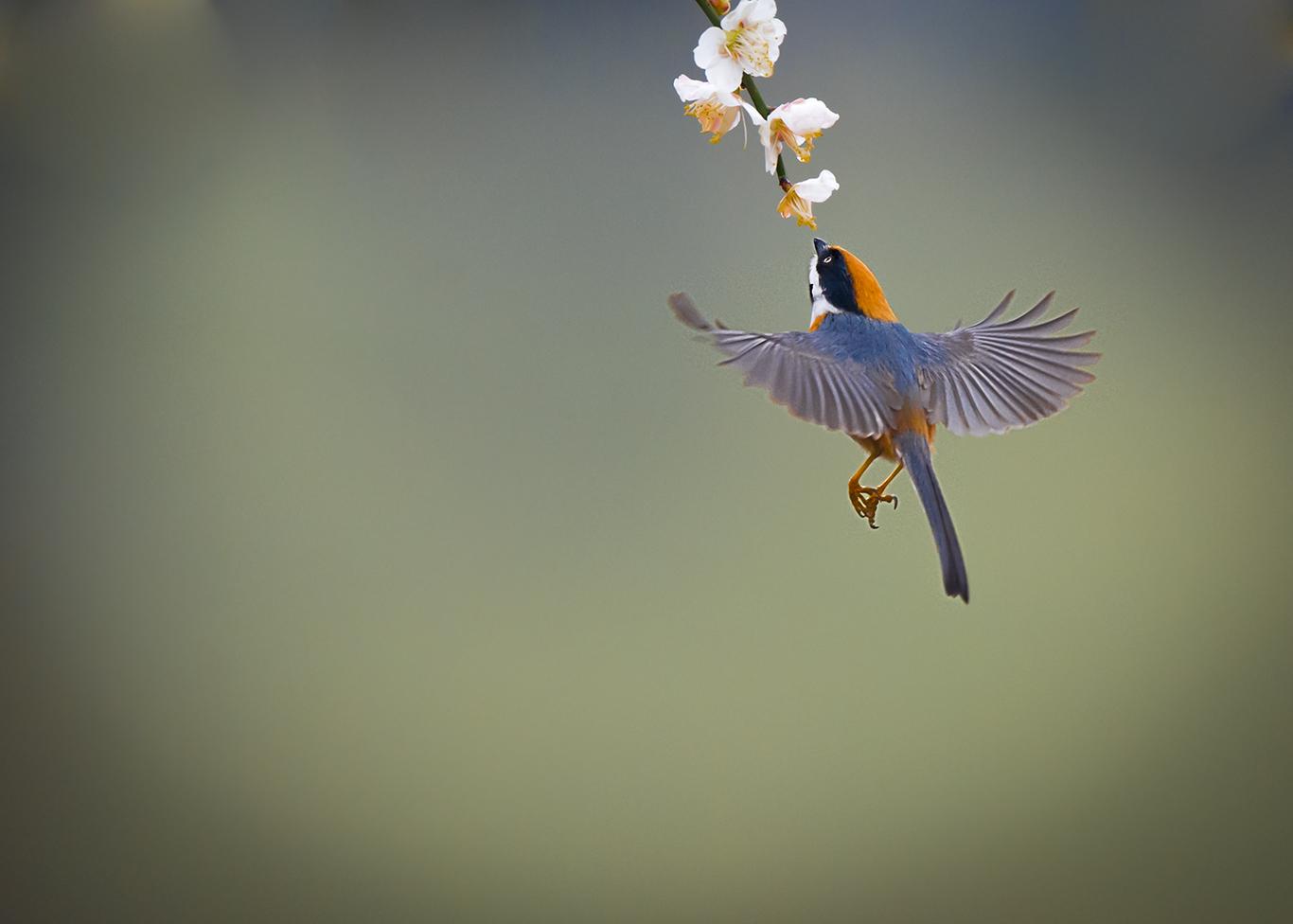 红头长尾山雀 - 鸟类动物
