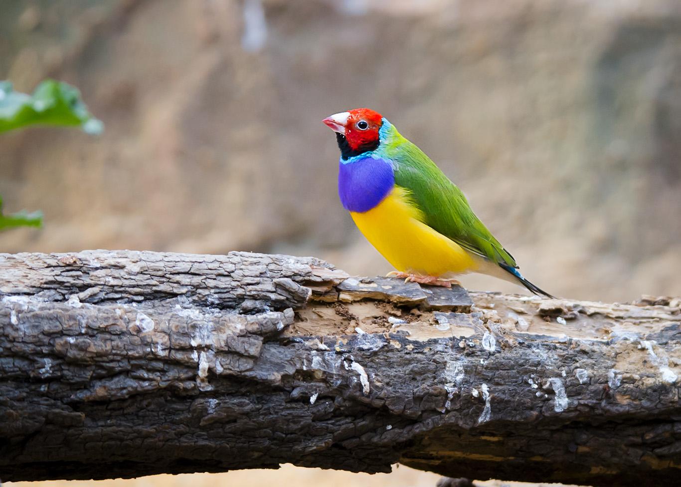 七彩文鸟 - 鸟类动物