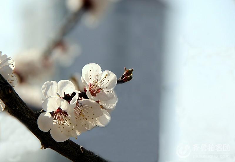 又是一年杏花开