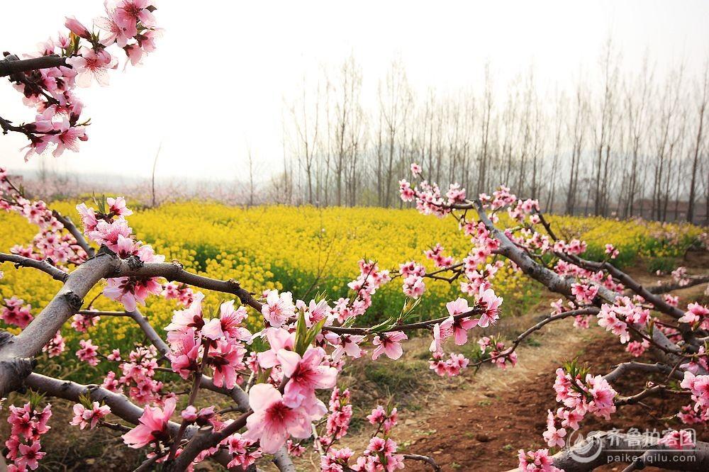 桃花美 - 枣庄拍客 - 齐鲁社区
