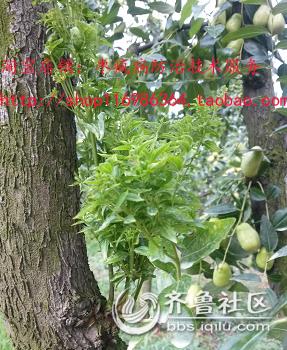 枣树枣疯病防治