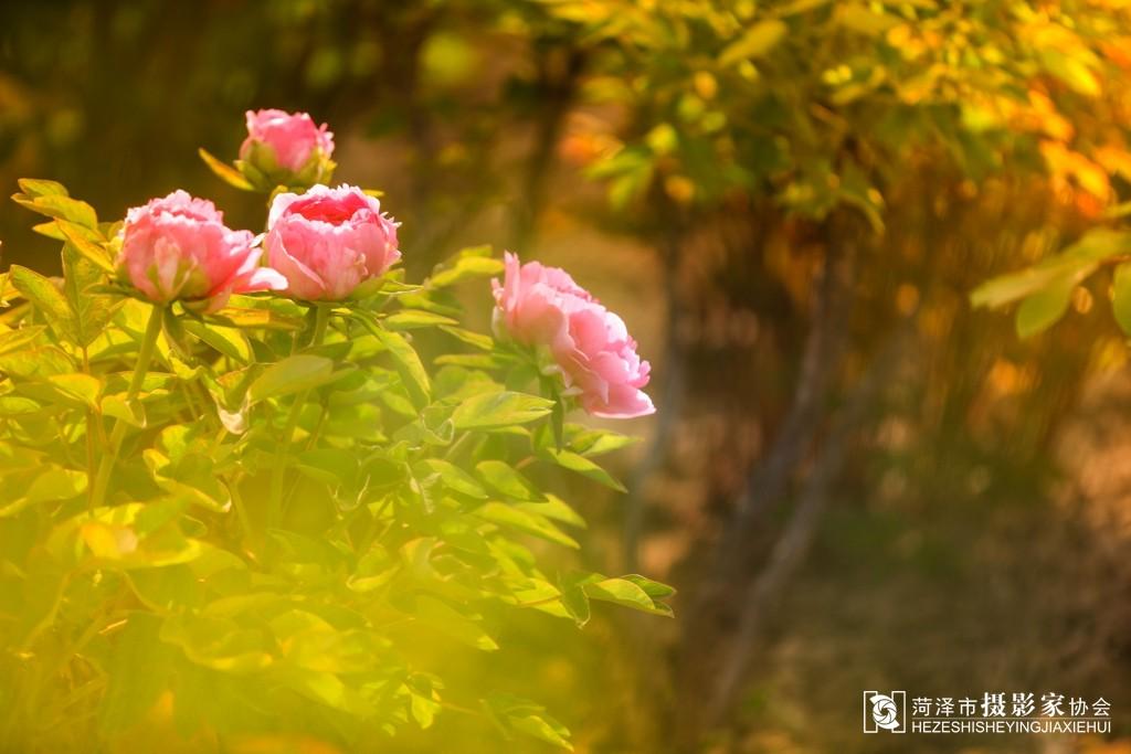 牡丹 摄影 齐鲁/2015/4/18 13:44 上传
