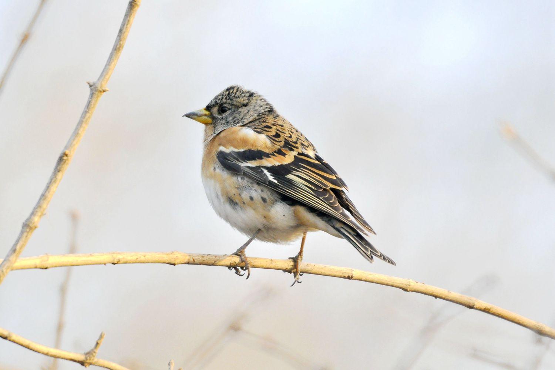 大明湖——燕雀 - 鸟类动物