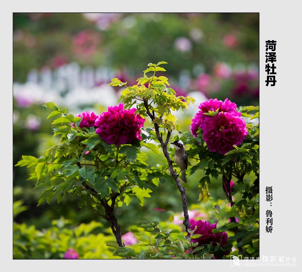 牡丹 摄影/2015/4/29 09:47 上传