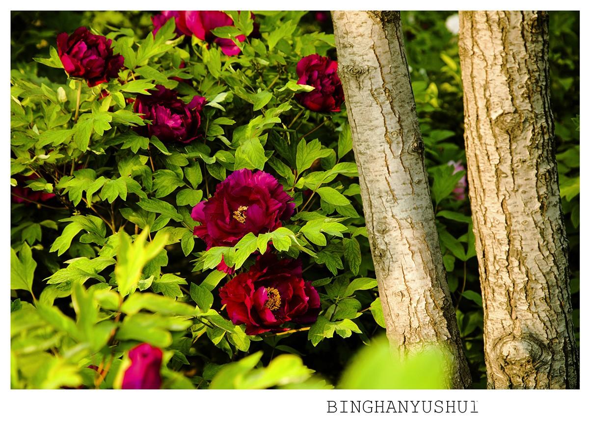 摄影 《牡丹与树》/2015/4/30 12:01 上传