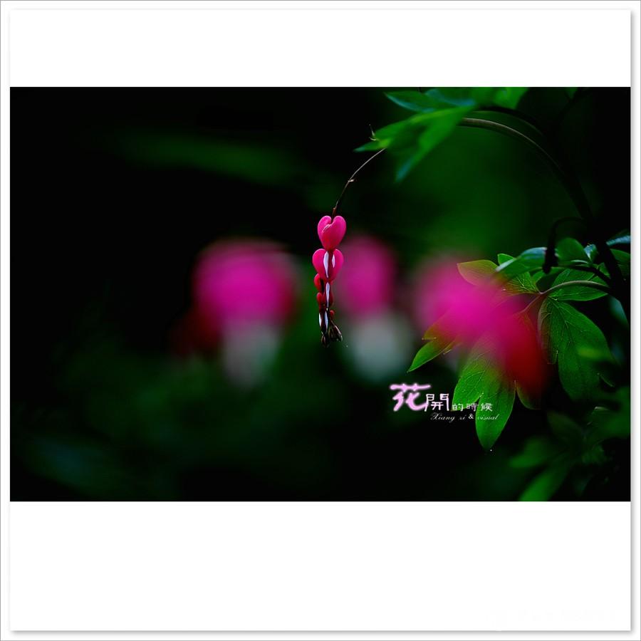 荷包牡丹花 - 鸟类动植物