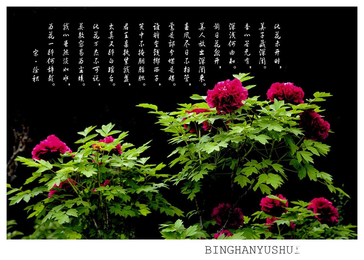 摄影 《牡丹与诗》/2015/5/1 18:50 上传