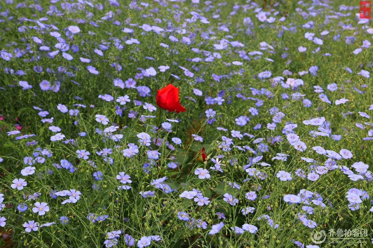 万花丛中一点红 - 菏泽拍客