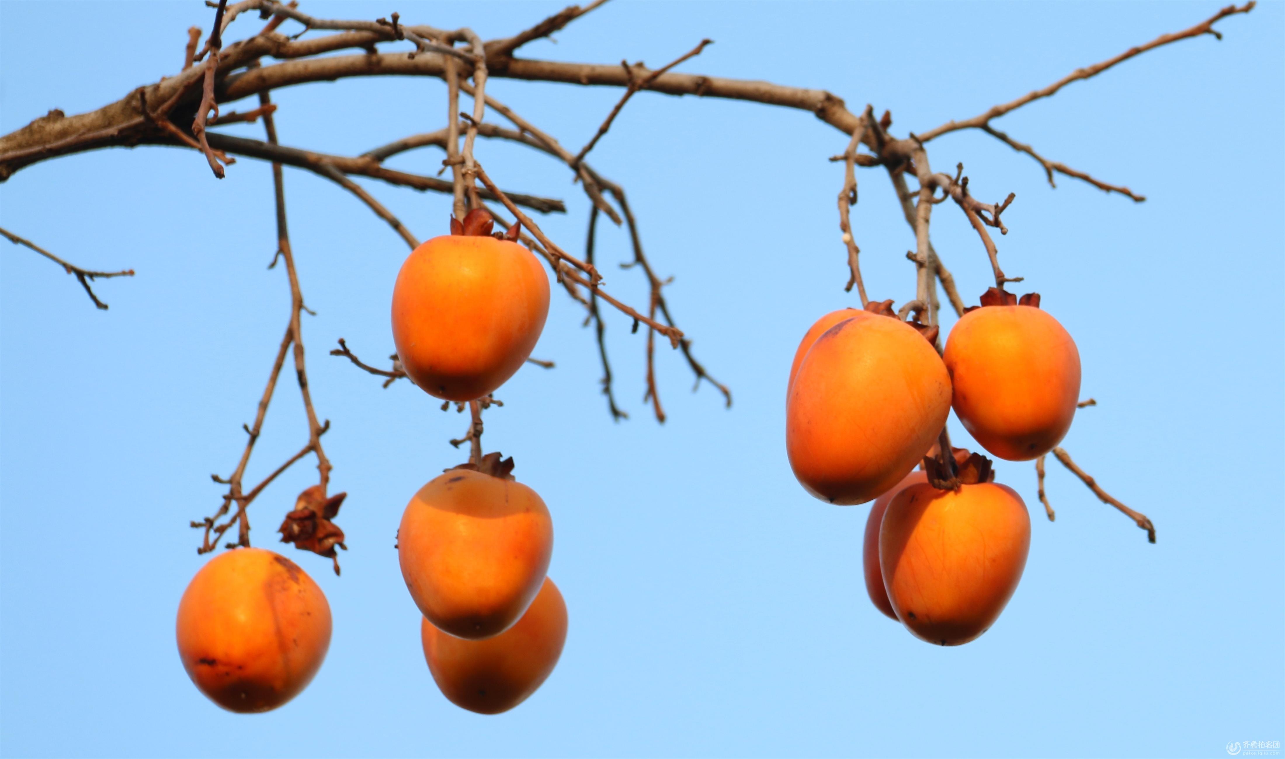 柿子水果简笔画