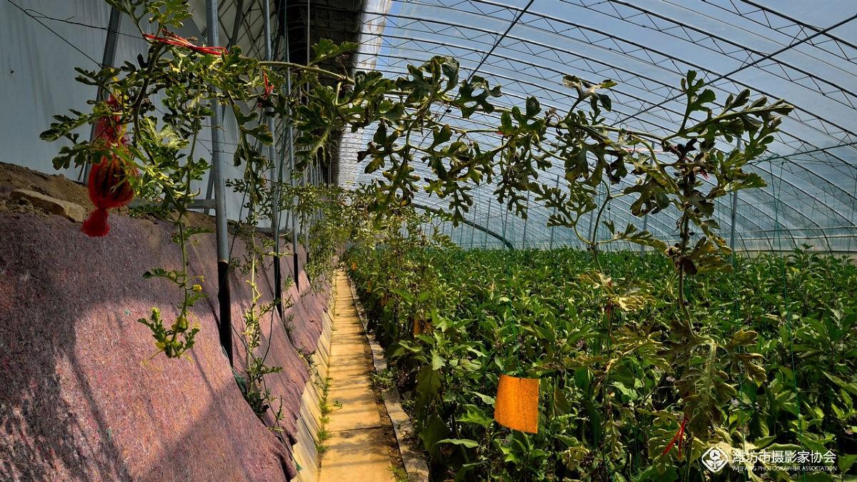 温室立体栽培西瓜