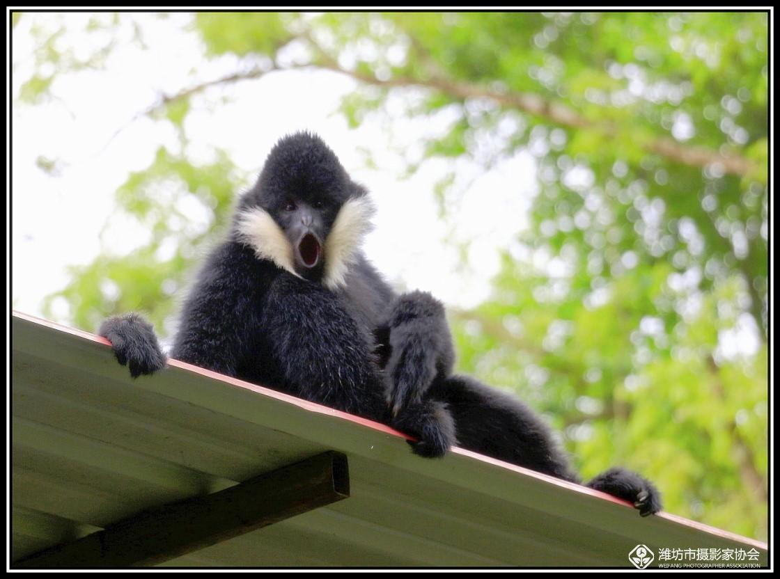 游滇摄影作品选:(三十) 野象谷纪实续二:林中长臂猿