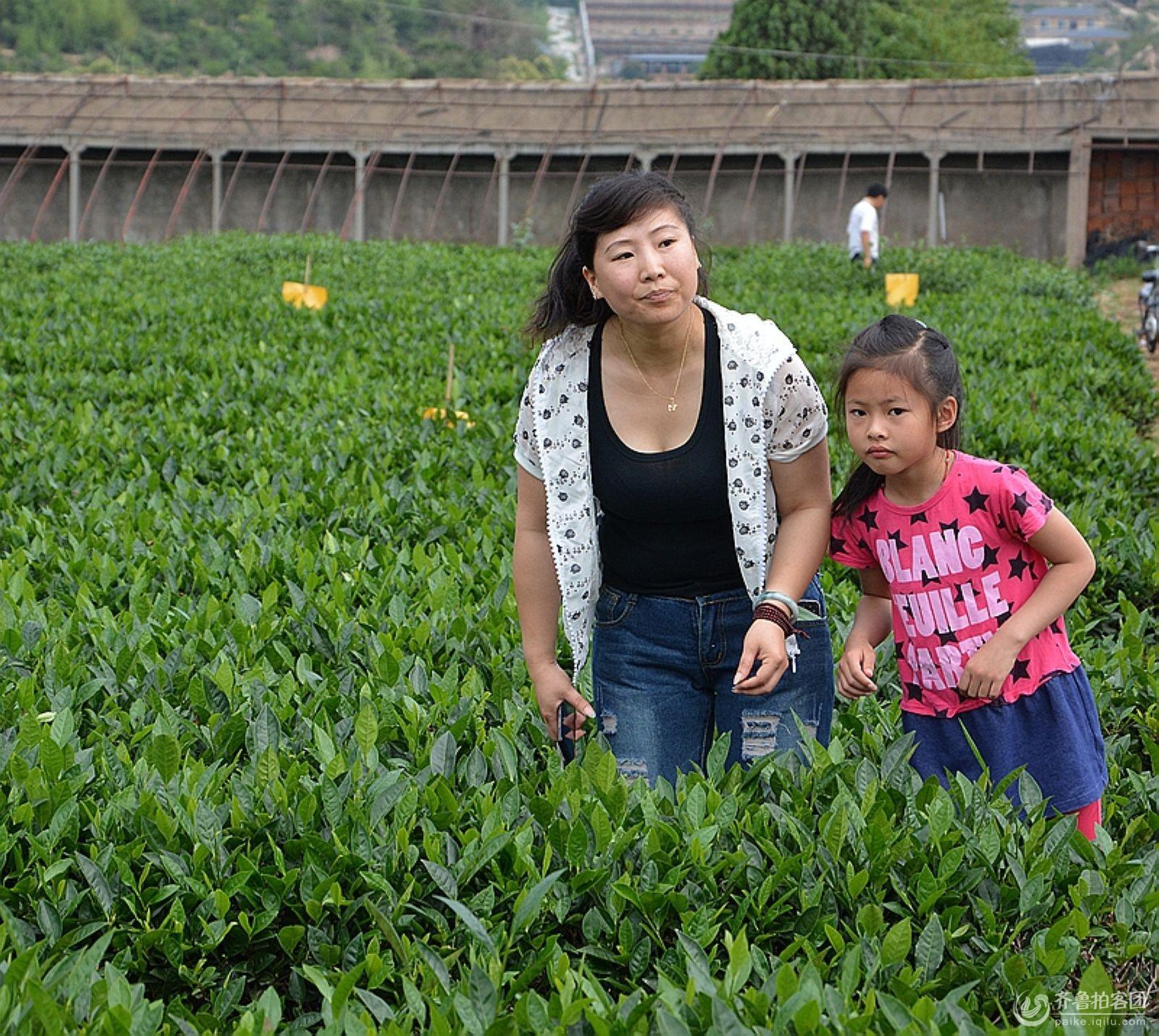 走进崂山万里江茶场 - 青岛拍客 - 齐鲁社区 - 山东最