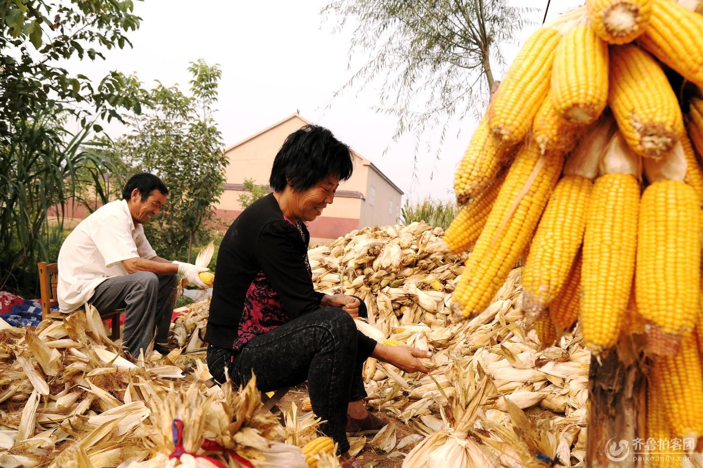今年又是一个玉米丰收年