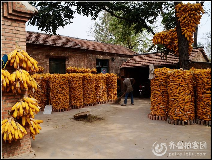 【双节随手拍】实拍郓城王老虎村今年玉米大丰收
