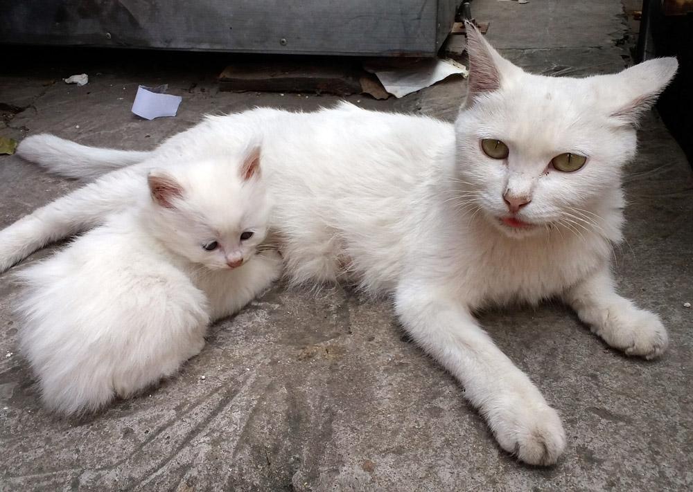 3年前,宿舍楼下来了一只小白猫,每天晚上不离不弃地守在那里,我看它很可怜,喂了一些猫粮,从此就天天来觅食了。楼后有一间做生意的小出租屋,主人也很可怜它,冬天就让它进屋了。后来,生了几窝小猫,都很可爱,陆续被领养了。去年生病了,很严重,连宠物医院都说没法治了。我们不忍心放弃,除了喂一些好的猫粮和妙鲜包,还吃了半年的抗生素,居然好了,今年又生了2窝小猫。
