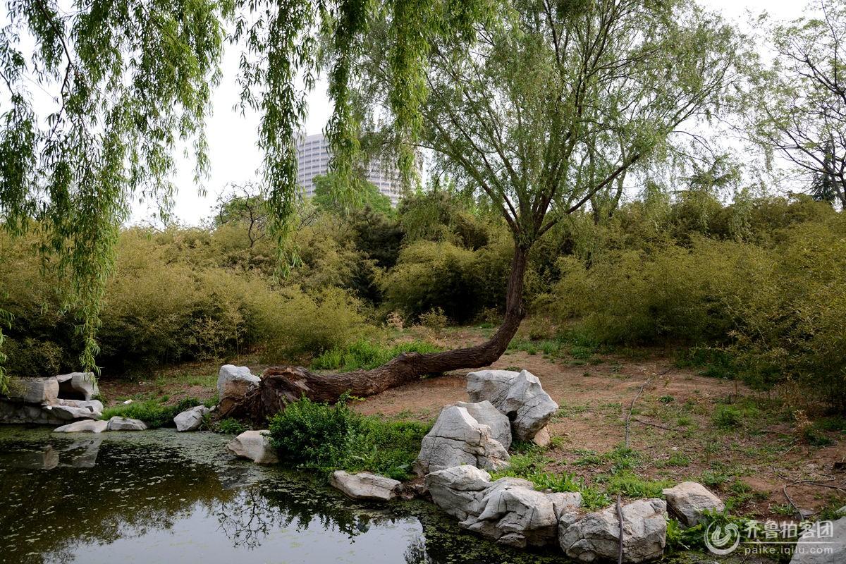 泉城公园的坚强柳