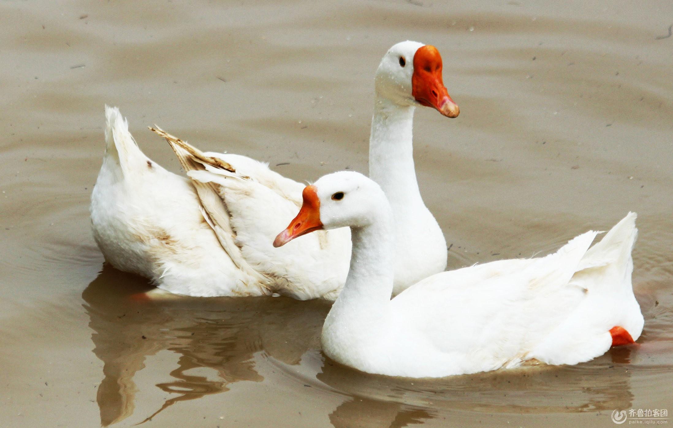 微信头像图片动物鹅