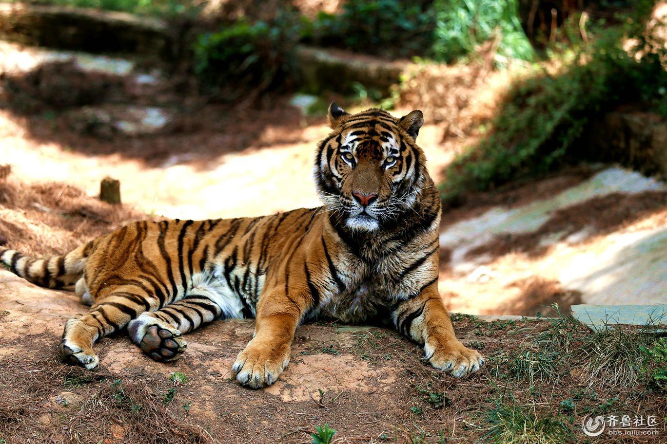 昆明野生动物园大老虎