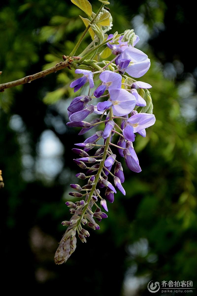百花园里紫藤萝花开