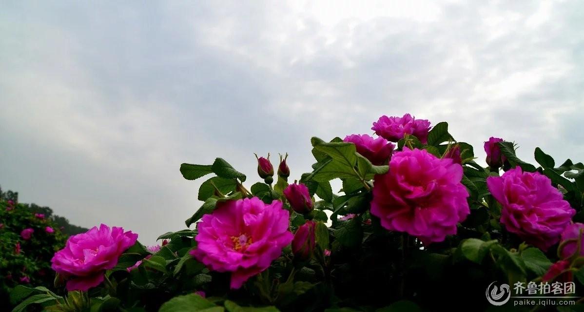 四月的春风意犹未尽,一个羞涩的立夏推开了五月的门扉。定陶的玫瑰风情节招来了八方客人,吸引了摄影界的爱拍迷。这是一个阳光不太爽朗的上午,走进这片富饶的土地,呼吸一口芬芳的幽香,玫瑰花儿处处开,朵朵笑容葱茏来。一位年近八十七岁的健硕老妈轻点拐杖走进了自己的玫瑰园。母亲节了,在这儿她收到了一份快乐的厚礼。 在整理这些片子的时候,我一直被他们的笑容感染着,不由得笑出了声。笑这位先前拘谨绷着脸的老大妈,后又笑我们的田团为她送上了一朵玫瑰花而使她放开心怀菊展般地笑开,赛过雨后的晴阳。风情洋溢着的土地,养育了这方朴实淳
