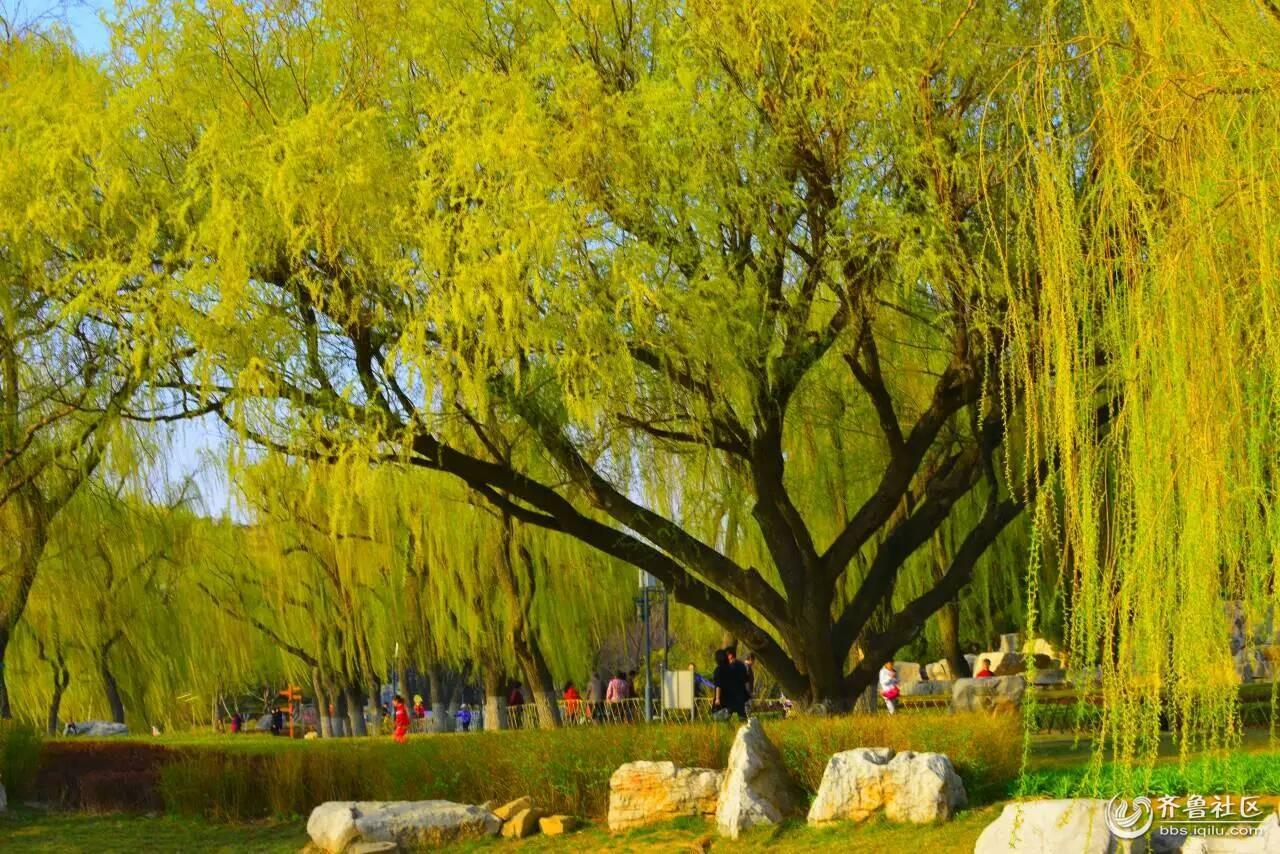 碧玉妆成一树高 万条垂下绿丝绦